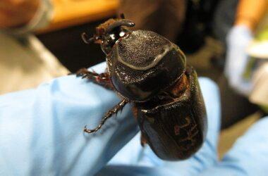 Rhinoceros Beetle in Hand