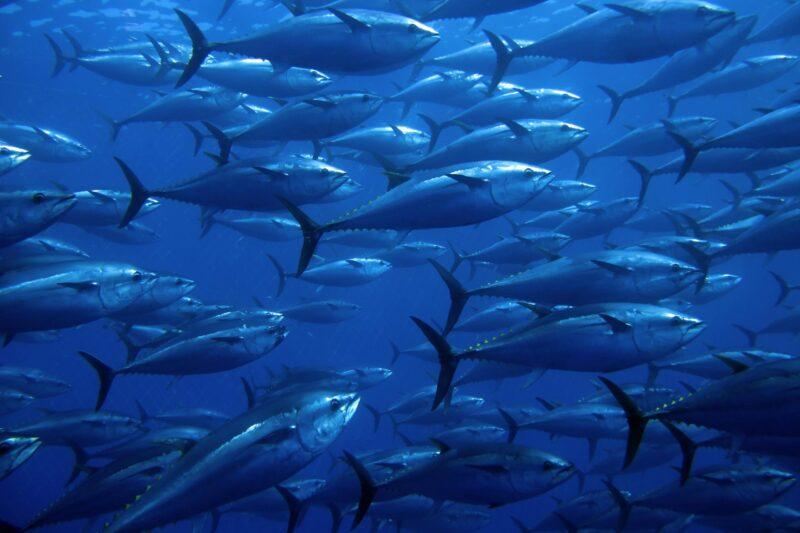 Les modèles océaniques mondiaux de pollution par le mercure révélés par le thon rouge