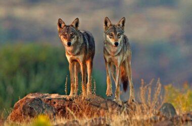 Une lignée ancienne : le loup indien parmi les loups les plus menacés et les plus distincts au monde