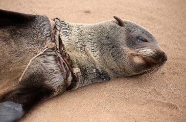 Des centaines d'otaries à fourrure du Cap empêtrées dans des lignes de pêche et des filets chaque année, causant des blessures horribles et des morts douloureuses