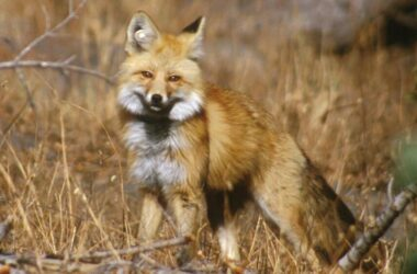 Sierra Nevada Red Fox Lassen Volcanic National Park