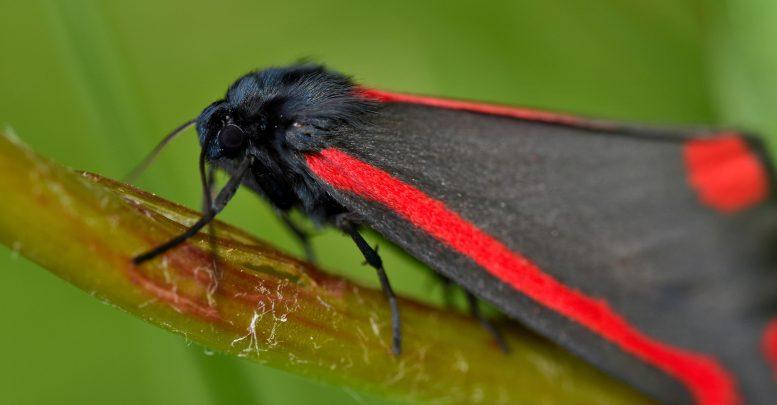 Papillon cinabre adulte sur séneçon jacobée