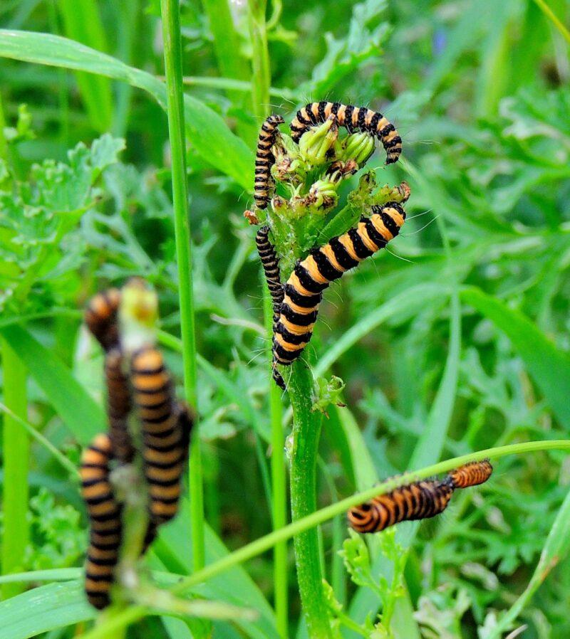 Cinnabar Larvae Feeding on Ragwort